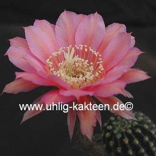 Echinopsis-Hybr. Mary Patrizia (C)  Blüte innen orange, außen rosa / orange-pink