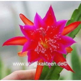Epiphyllum-Hybr. Johann Paetz