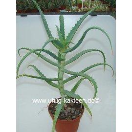 Aloe arborescens v. frutescens