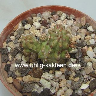 Euphorbia mosaica