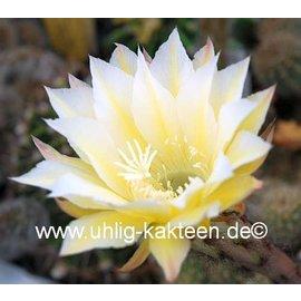 Echinopsis-Hybr. Martinella