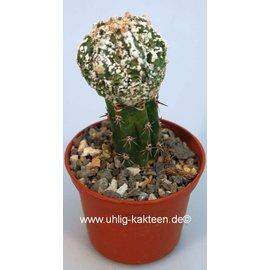 Astrophytum myriostigma cv. Fukuryu   gepfr.
