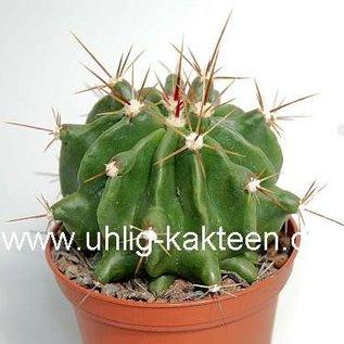 Ferocactus echidne v. rafaelensis