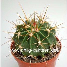 Ferocactus echidne v. victoriensis