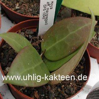 Hoya aff. macgregorii GPS 10043