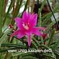 Aporophyllum-Hybr. `Anastasia`