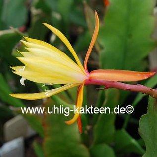 Disophyllum-Hybr. Lisa   Blüte creme-gelb-pink / creme-yellow-pink