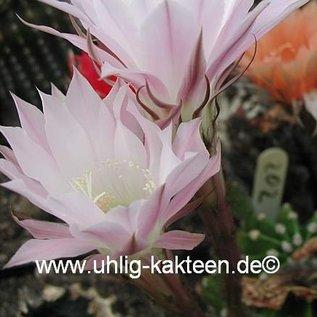 Echinopsis-Hybr. Mandarin Rheingold 202