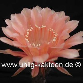 Echinopsis-Hybr. Paramount 16/G