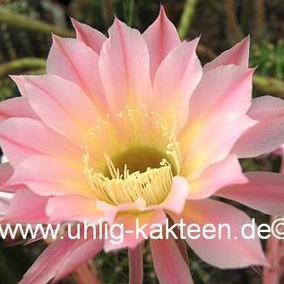 Echinopsis-Hybr. `Passo CM 64 Farol`