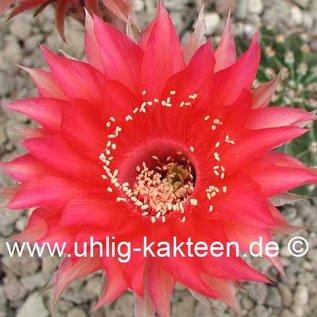 Echinopsis-Hybr. Samba  Rheingold 275