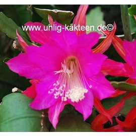 Epiphyllum-Hybr. Annika Paetz  (Carola Paetz x Nayada)