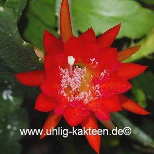 Epiphyllum-Hybr. Bruno Foerster