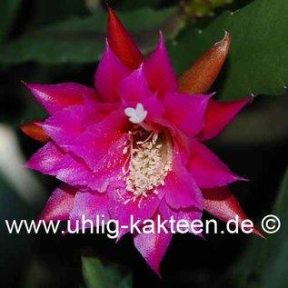 Epiphyllum-Hybr. Carsten Paetz