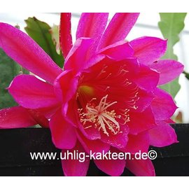 Epiphyllum-Hybr. Eastern Promise
