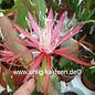 Epiphyllum-Hybr. Elke Paetz