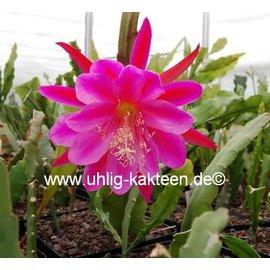 Epiphyllum-Hybr. Fr. Gundi Haage Paetz