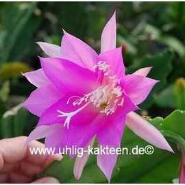 Epiphyllum-Hybr. `Jette Paetz`