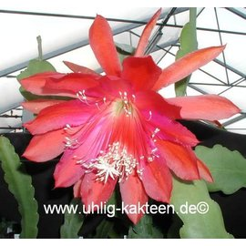 Epiphyllum-Hybr. Maienanfang PE 118