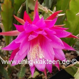 Epiphyllum-Hybr. Beahms Surprise