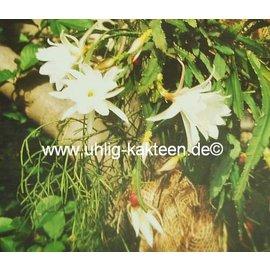 Epiphyllum-Hybr. `Silke Paetz`