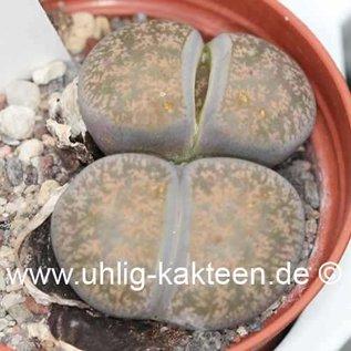Lithops lesliei ssp. lesliei grey form C 009