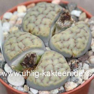 Lithops schwantesii ssp. schwantesii C 143B