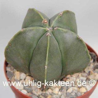 Astrophytum myriostigma  v. nudum      (Seeds)