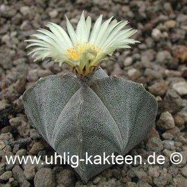 Astrophytum myriostigma  subvar. quadricostata      (Samen)