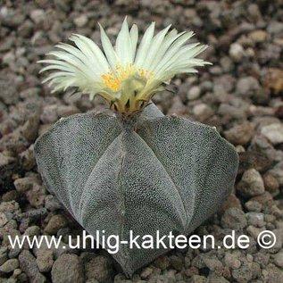 Astrophytum myriostigma  subvar. quadricostata      (Seeds)