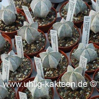 Astrophytum myriostigma cv. Onzuka  (Seeds)