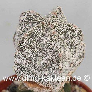 Astrophytum myriostigma cv. Onzuka  (Samen)