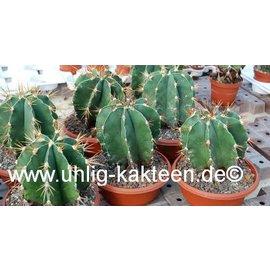 Astrophytum ornatum        (Seeds)
