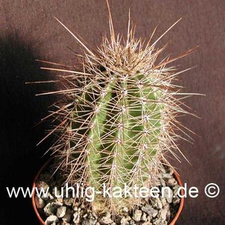 Carnegiea gigantea        (Seeds)