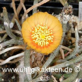 Digitostigma caput-medusae        (Seeds)