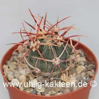 Echinocactus parryi        (Samen)