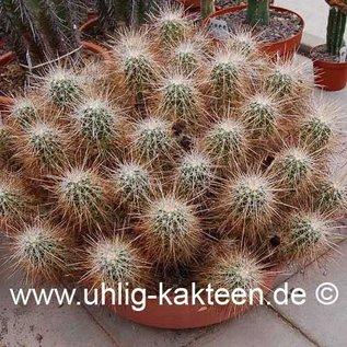 Echinocereus stramineus   (Samen)