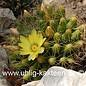 Mammillaria longimamma   (Samen)