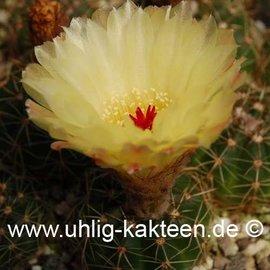 Notocactus incomptus        (Graines)