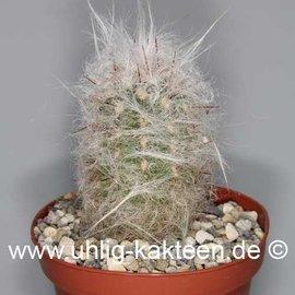 Oreocereus trollii        (Graines)