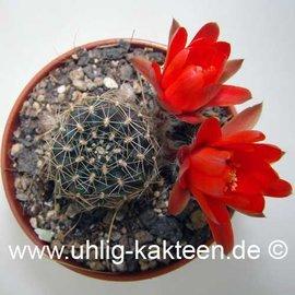 Rebutia euanthema WR 700 a v. andina Humahuaca, Jujuy     (Samen)