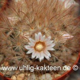 Mammillaria pennispinosa        (Samen)