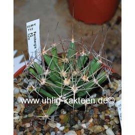 Ferobergia F2-Hybride VIOLET        (Seeds)