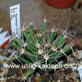 Ferobergia F2-Hybride VIOLET        (Samen)
