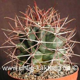 Ferocactus acanthodes   Ojos Negros, Baja California     (Samen)