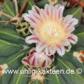 Ferofossulocactus F2-Hybride LEIBNITZ        (Seeds)