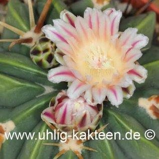 Ferofossulocactus F2-Hybride LEIBNITZ        (Samen)