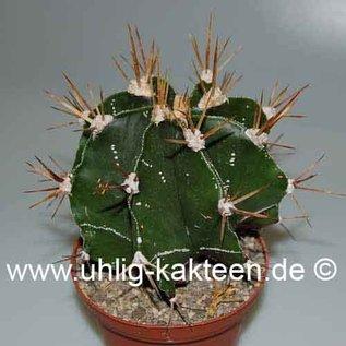 Astrophytum ornatum XL  Mexiko