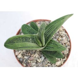 Gasteria-Hybr. Little Warty