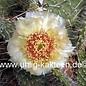 Opuntia polyacantha  cv. Chrystal Tide/Richter     (dw)